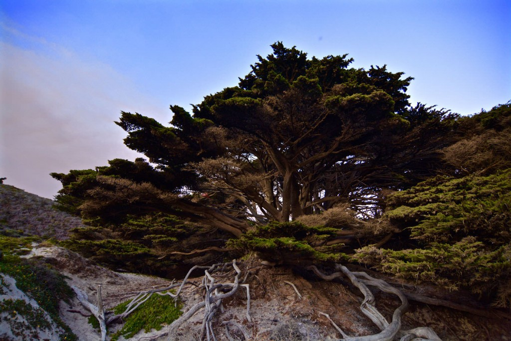 Tree at Pfeiffer Beach