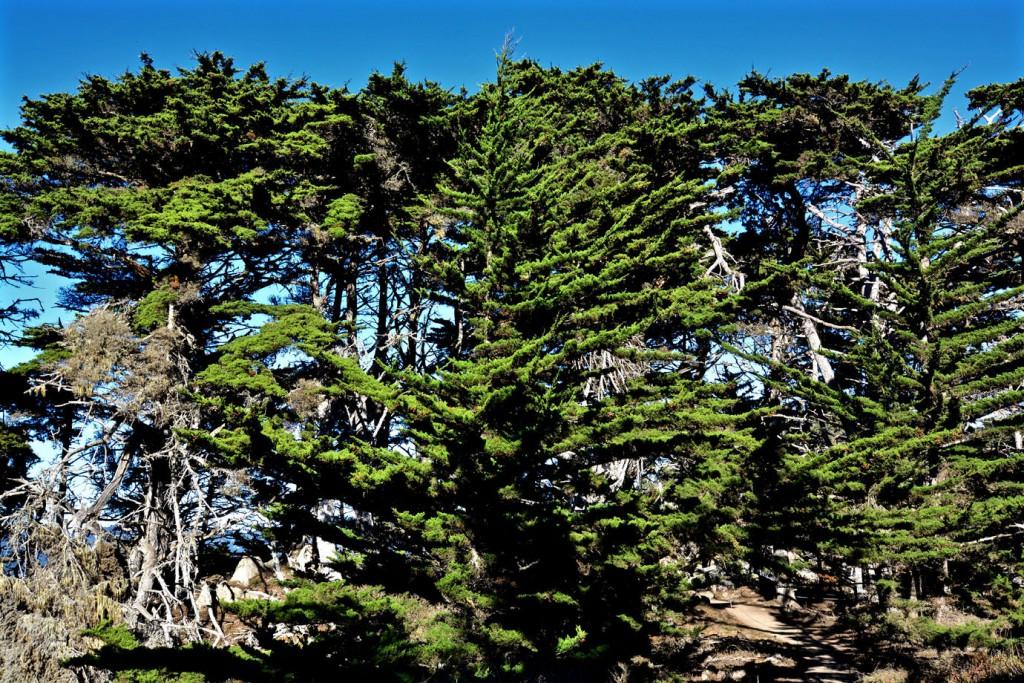 Trees at Point Lobos