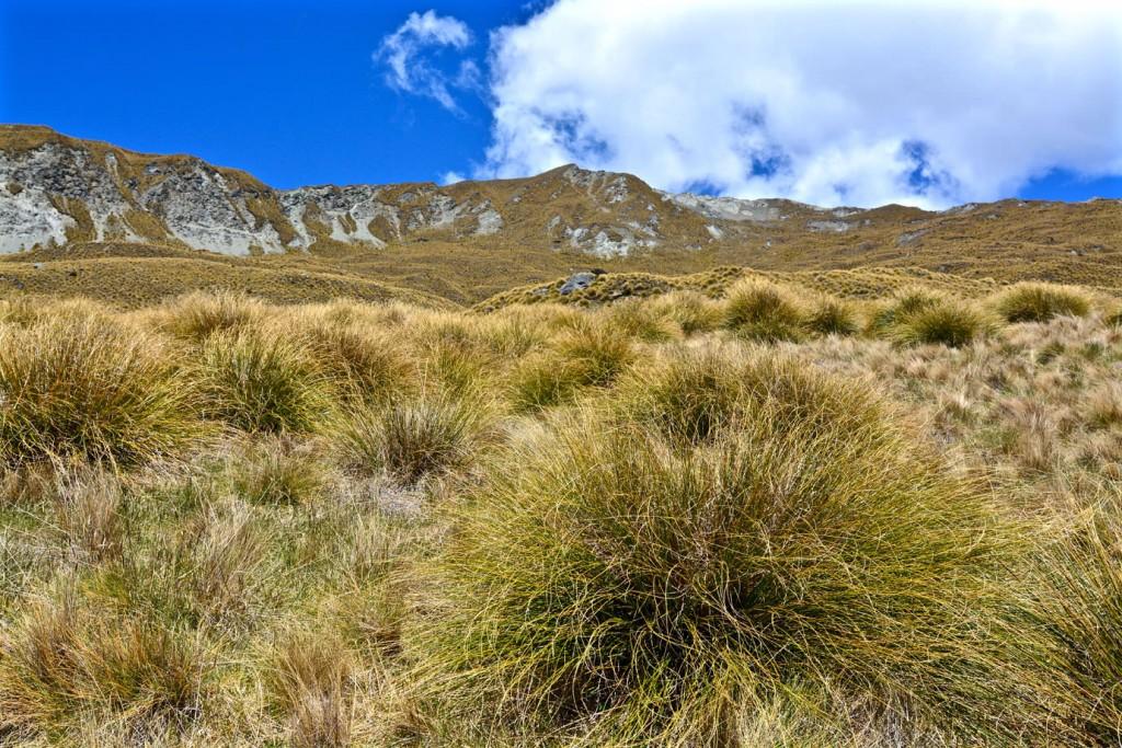 Tussock grass at Roys Peak