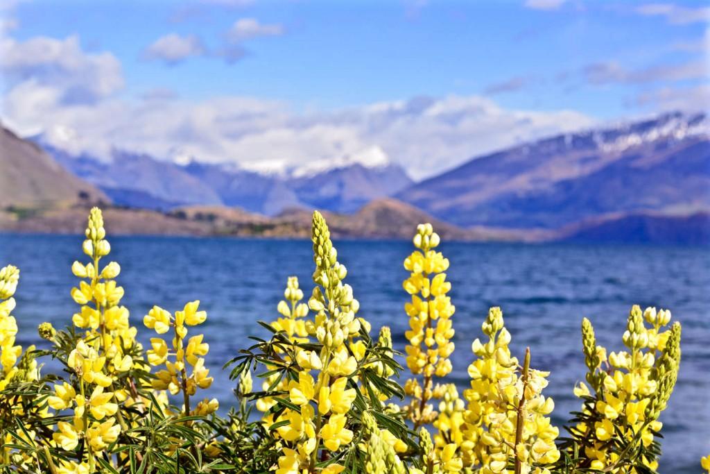 Lupins at Lake Wanaka