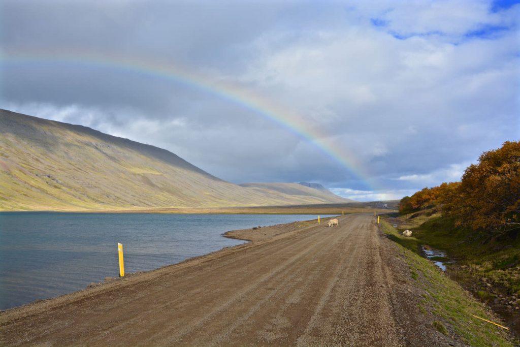 Rainbow Iceland Sheep
