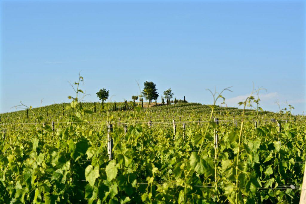 Wine yard Piran